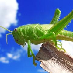 Azamra For Grasshoppers